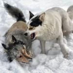 Две собаки выясняют отношения