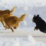 Собаки прогоняют чужака