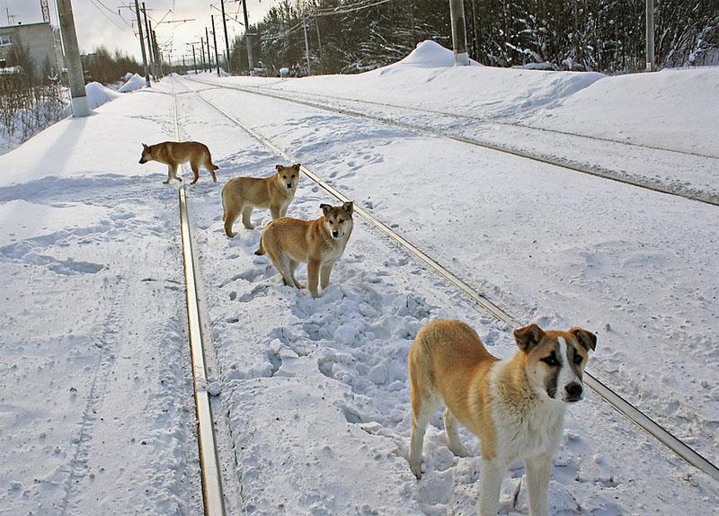 Стая собак на железнодорожных путях